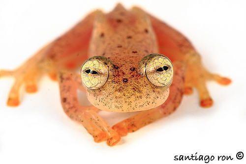 Anomalous glass frog