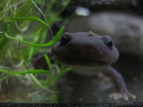 Pachyhynobius shangchengensis