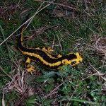 Sacavera salamandra