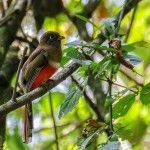Trogon collaris exoptatus