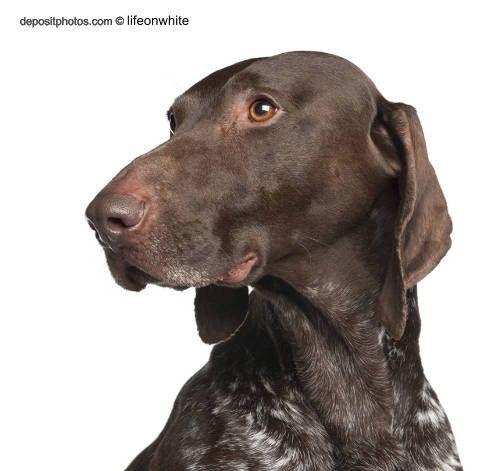 Perro braco aleman