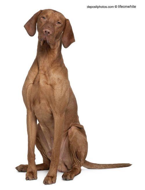 Perro braco hungaro