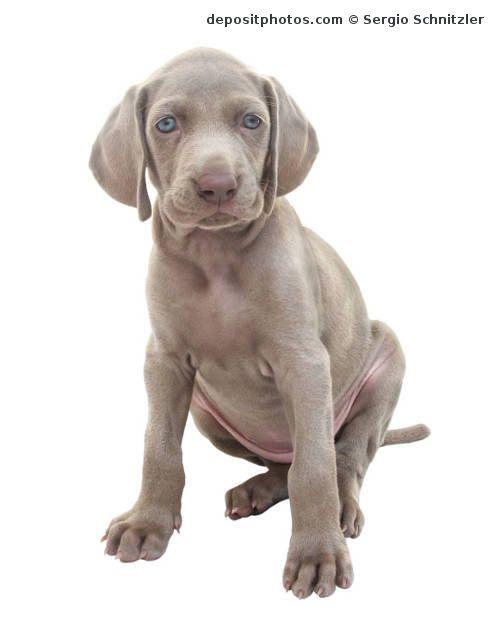 Perro braco de weimar