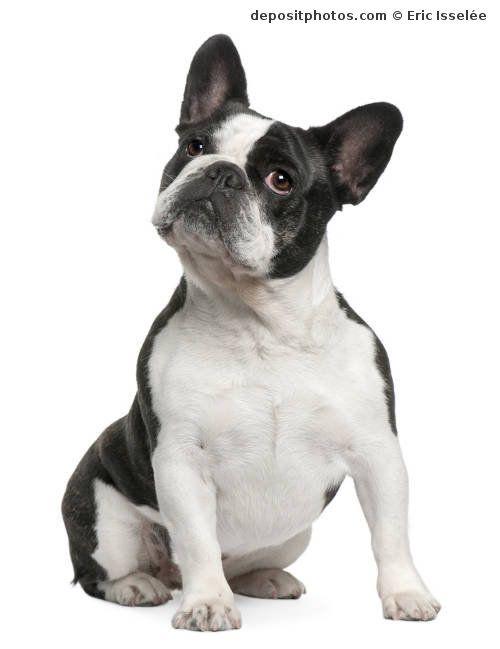 Perro raza Bulldogfrances