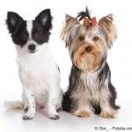 Perros chihuahuas y yorkshire