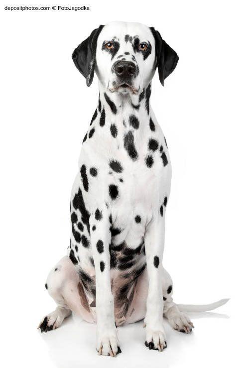 Perro dalmata