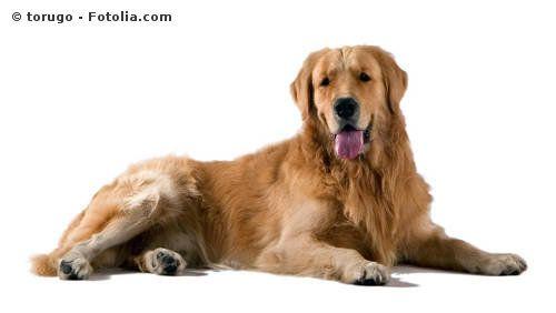 Perro raza Golden retriever