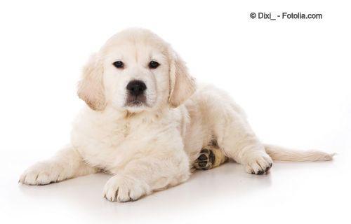 Cachorro de Golden retrievier