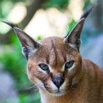 Caracal, lince africano