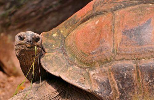 Testudines, tortuga de tierra
