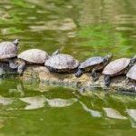Trachemys scripta, tortugas de agua